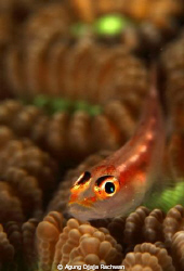 Goby of Maratua .. ! With it s surrounding coral @ Borneo... by Agung Djaja Rachwan 
